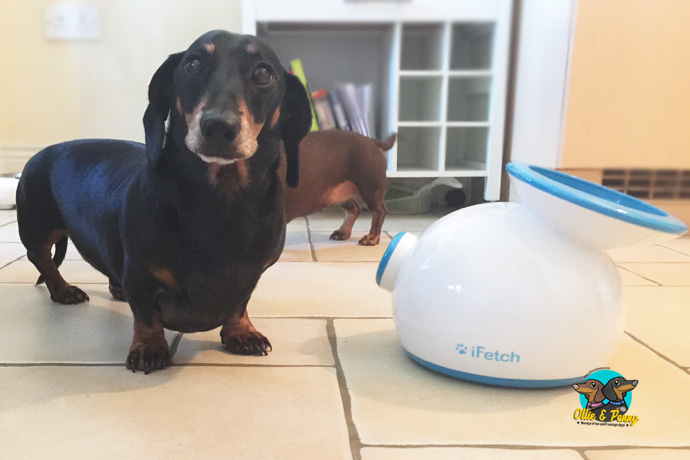 Ollie is very proud of his new iFetch and wants to sow it all off to you!