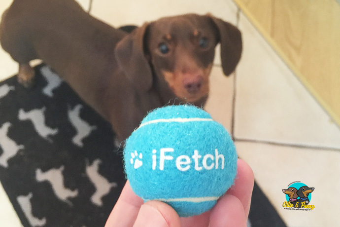 Penny - just dying to get her paws on that iFetch ball!