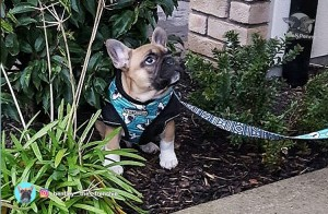Bentley the Frenchie - Ollie & Penny Blof - Ireland