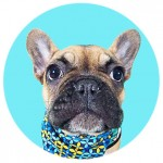 Bentley the Frenchie - Ollie & Penny Blog - Ireland