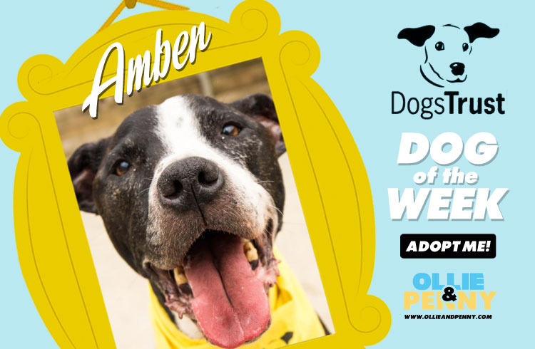 Meet Amber! Dogs Trust - Dog of the Week - Ollie & Penny Blog Ireland